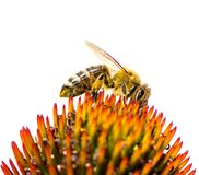 Bee collecting nectar at a conflower blossom Royalty Free Stock Photography