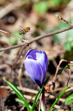 Bee and crocus flower Stock Photos