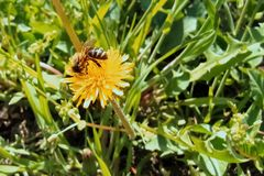 A bee collecting nectar from a dandelion flower royalty free stock photography