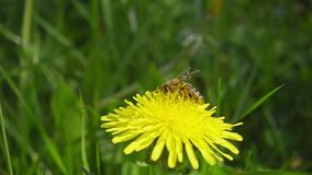 A bee collecting nectar from dandelion, and then fly away, slow motion stock video
