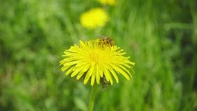 A bee collecting nectar from dandelion, and then fly away, slow motion stock footage