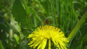 A bee collecting nectar from dandelion, and then fly away, slow motion stock video footage