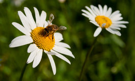 Bee collecting nectar from a flower camomile Royalty Free Stock Photo