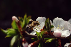 Bee collecting nectar from flower of cherry, close-up Stock Images