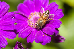 Bee collecting nectar from flower. And insect pollinator in the nature royalty free stock images