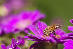 Bee collecting nectar from flower. And insect pollinator in the nature stock photos