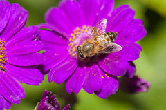 Bee collecting nectar from flower. And insect pollinator in the nature royalty free stock photo
