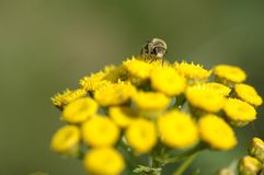 Bee collecting nectar from flower Royalty Free Stock Images