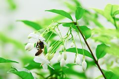 The bee is collecting nectar from flowers. Stock Photo