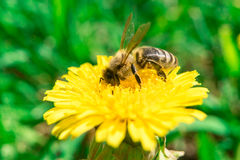 Bee collecting nectar of honey on the yellow dandelion at summer Royalty Free Stock Photo