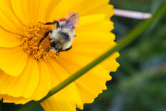 A bee collecting nectar with its proboscis Royalty Free Stock Photo