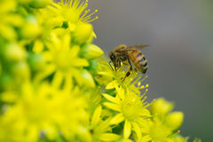 Bee collecting nectar. A photo of a bee collecting nectar from a yellow flower Stock Photos