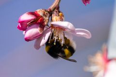 Bee collecting nectar from a pink flower stock image