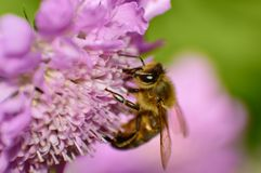 Bee collecting nectar from pink flower. A honeybee collecting nectar from a large pink flower Stock Images