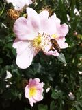 Bee collecting nectar. Pink flowers of wild rose. Green leaves in the sun. stock photo