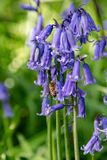 Bee collecting nectar pollen from bluebell wild flower in woodland countryside. Bee collecting nectar pollen from bluebell wild flower in springtime woodland stock images