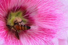 Bee collecting Nectar and Pollen in Pink Hollyhock Flower Stock Images