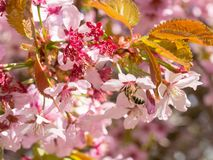 Bee collecting nectar and pollinating flowers of cherry blossoms in sunlight. Chelopechene Royalty Free Stock Photos