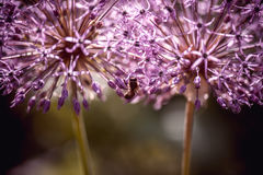 Bee collecting nectar on purple alum garlic flower. macro close-up Royalty Free Stock Images