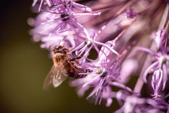 Bee collecting nectar on purple alum garlic flower. macro close-up Stock Images