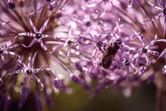 Bee collecting nectar on purple alum garlic flower. macro close-up. selective focus shot with shallow DOF royalty free stock image