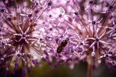 Bee collecting nectar on purple alum garlic flower. macro close-up. selective focus shot with shallow DOF stock images