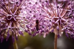 Bee collecting nectar on purple alum garlic flower. macro close-up. selective focus shot with shallow DOF royalty free stock photography