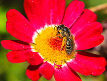 Bee is collecting nectar from a red flower Royalty Free Stock Image