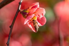 Bee collecting nectar on red flowers of blooming Japanese quince stock photo