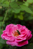 Bee Collecting nectar from rose Stock Photography