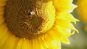 Bee collecting nectar on sunflower; closeup stock video footage