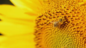 Bee collecting nectar on sunflower; closeup stock video
