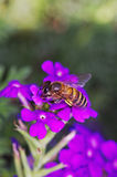 Bee collecting nectar. Bee is collecting nectar from the violet flowers Royalty Free Stock Photography