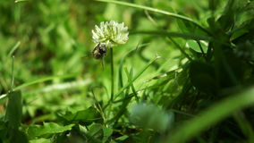Bee Collecting Nectar From White Clover Flower stock video