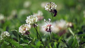Bee Collecting Nectar From White Clover Flower stock footage