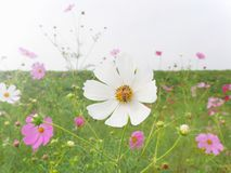 Bee collecting nectar from white cosmos flower Royalty Free Stock Image