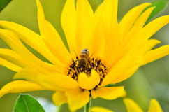 Bee collecting Nectar. This wild bee is busy collecting nectar from flowers in a small Parisian village. This yellow chrysanthemum is particularly in theme with Stock Photography