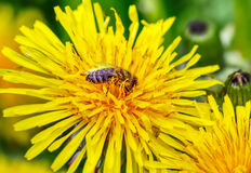 Bee collecting nectar from a wild flowers in sunny day Royalty Free Stock Photos