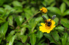 A Bee collecting nectar Stock Photography