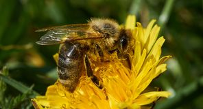 Bee collecting nectar from a yellow flower. royalty free stock photo