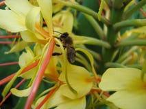 Bee collecting polen stock photos