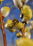 Bee collecting pollen. A bee collecting yellow pollen from a catkin Royalty Free Stock Photos