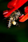 Bee Collecting Pollen Royalty Free Stock Image