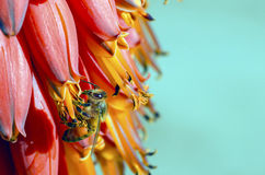 Bee Collecting Pollen. A bee laden with pollen sits on a desert flower Stock Images