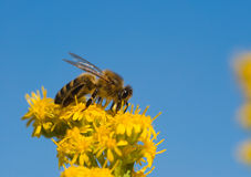 Bee collecting pollen. Wild bee collecting yellow pollen on yellow wildflowers close-up Royalty Free Stock Photos