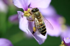 Bee collecting pollen Stock Photography