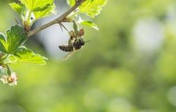 Bee Collecting Pollen Stock Photos