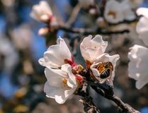 Bee collecting pollen from an almond blossom stock photos