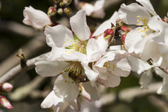 Bee. Collecting pollen from the almond plants Royalty Free Stock Image