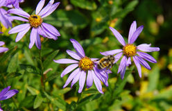 Bee collecting pollen on Alpine Aster Royalty Free Stock Image